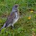 Fieldfare - Kramsvogel