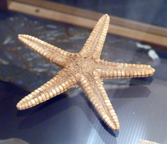 Astropecten articulatus 49365868001_d6619319c9_o