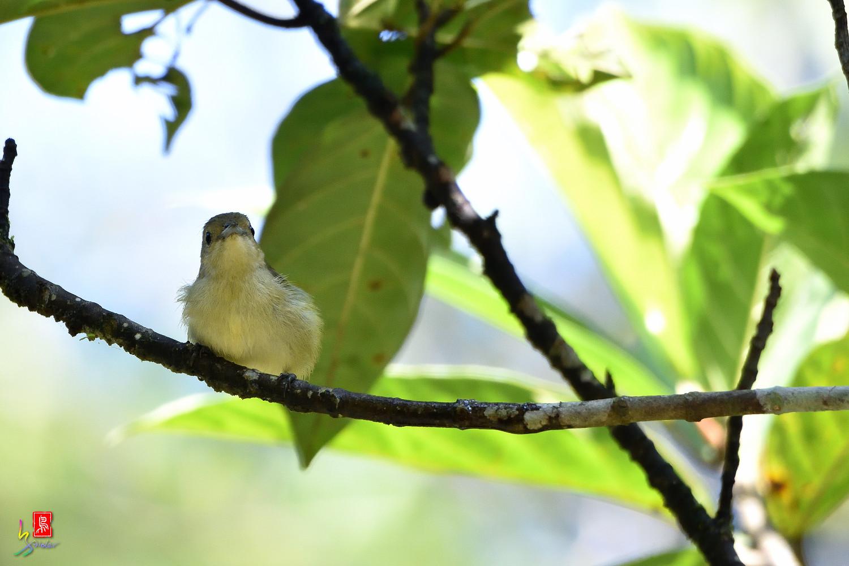 Plain_Flowerpecker_1051