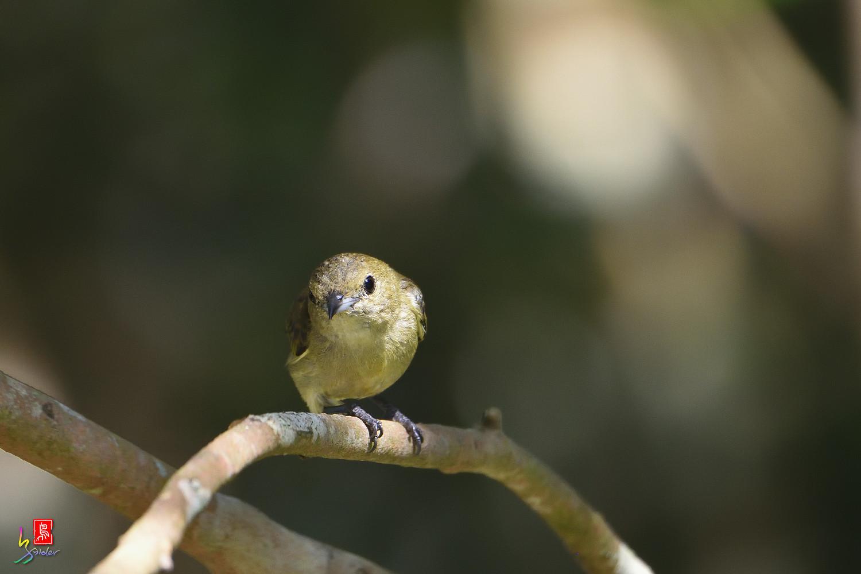 Plain_Flowerpecker_1230