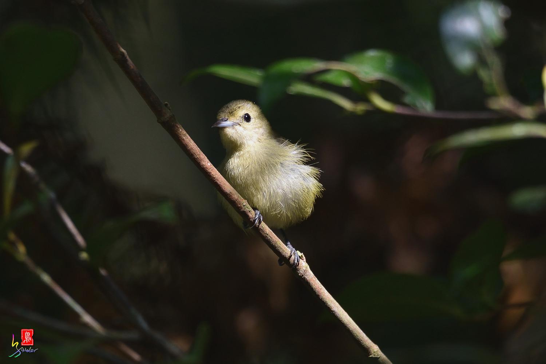 Plain_Flowerpecker_1054