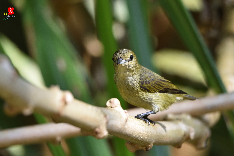 Plain_Flowerpecker_1361