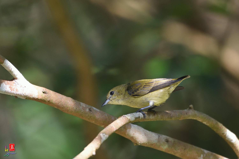 Plain_Flowerpecker_1214
