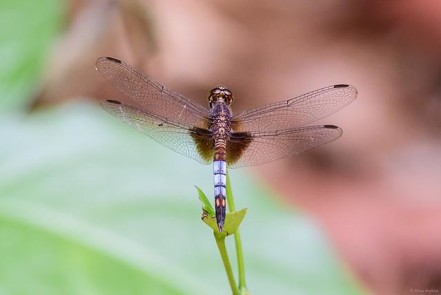 Dragonlet (Erythrodiplax sp.), male