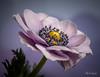 Anemone by Magda Banach
