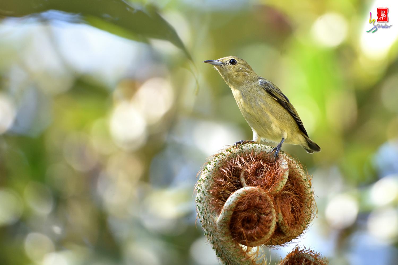 Plain_Flowerpecker_7479