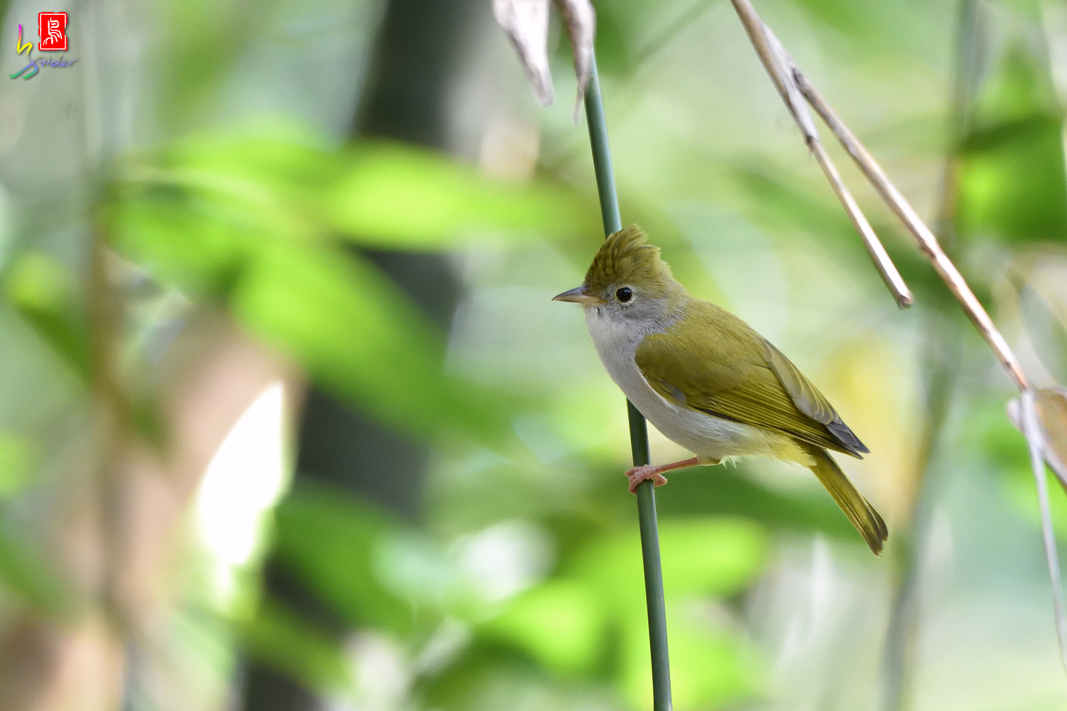 White-bellied_Yuhina_7412