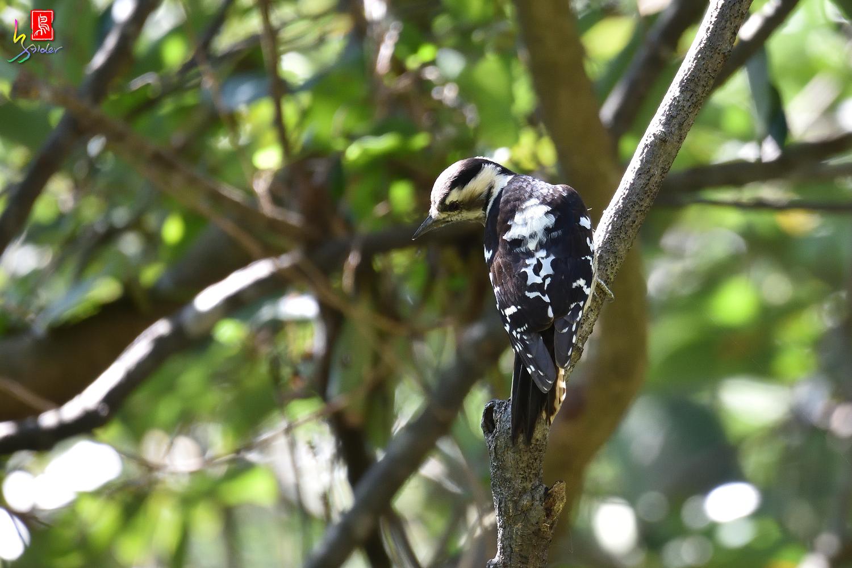 Gray-headed_Pygmy_Woodpecker_7157