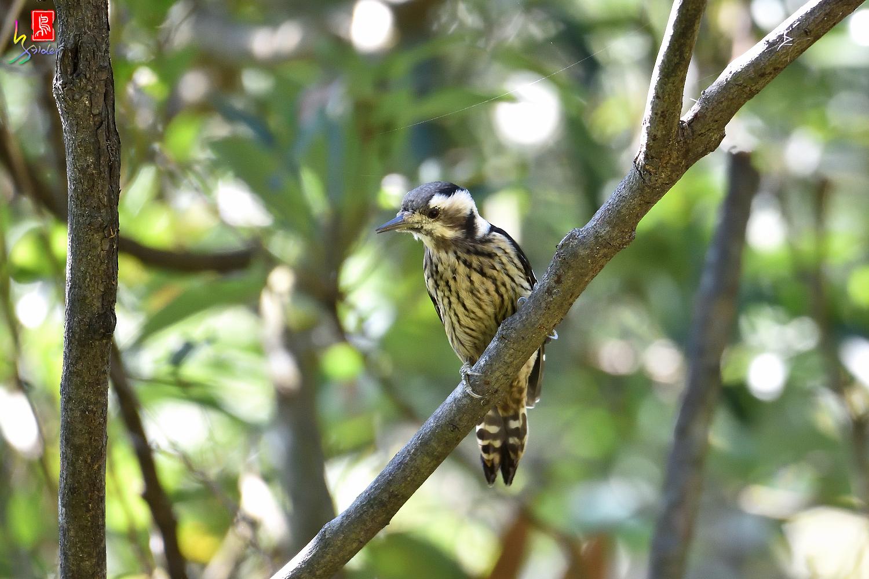 Gray-headed_Pygmy_Woodpecker_7153