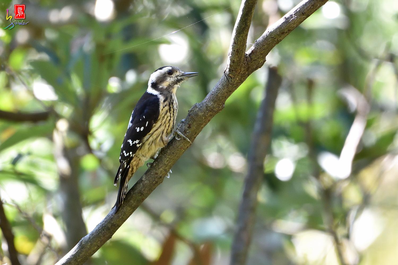 Gray-headed_Pygmy_Woodpecker_7151