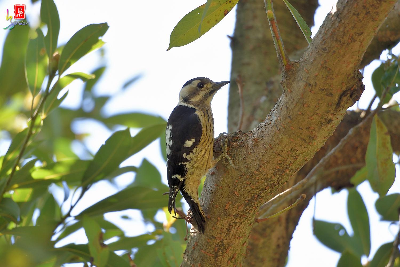 Gray-headed_Pygmy_Woodpecker_7133