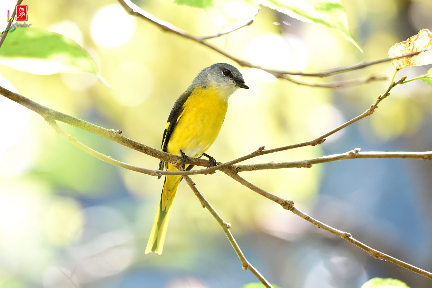 Gray-chinned_Minivet_6874