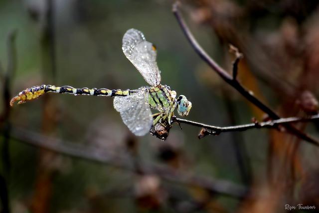 Common Hooktail or Lined Hooktail (Paragomphus lineatus  Selys, 1850) Male - ചൂണ്ടവാലൻ കടുവ