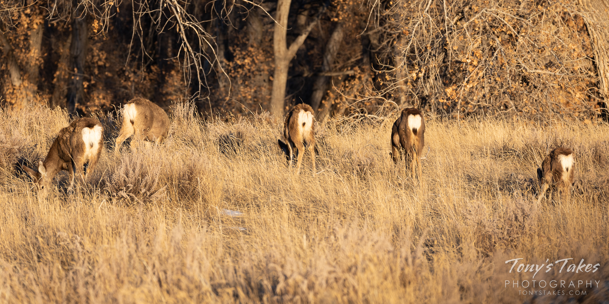 Five moons! Grazing mule deer turn their backsides to the photographer. (© Tony's Takes)