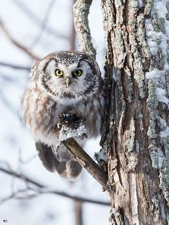 ''Mon toutou!'' Nyctale de tengmlam-Boreal owl