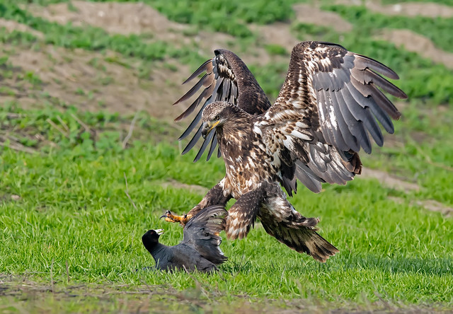 Young bald eagle catching breakfast