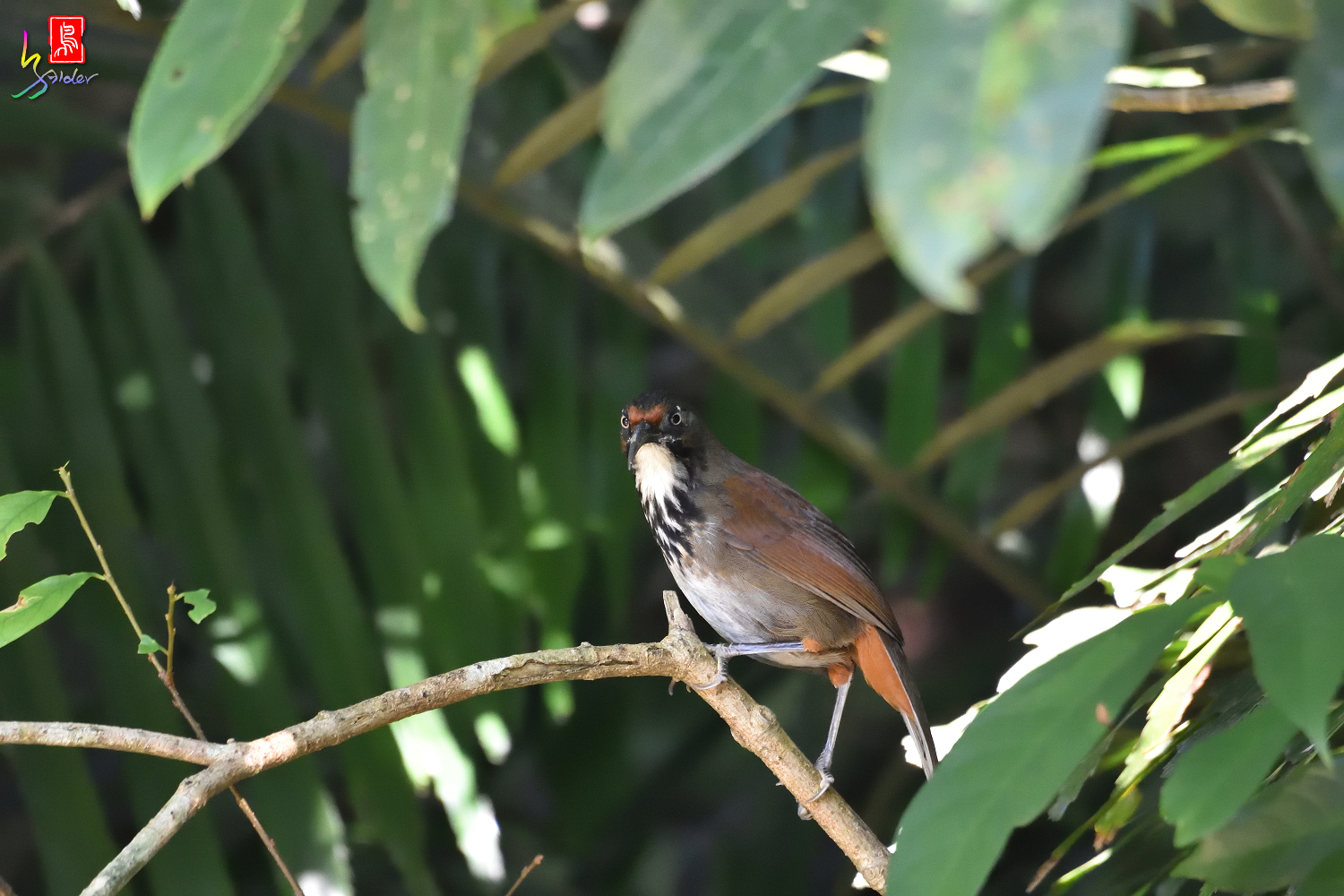 Rusty-cheeked_Scimitar_Babbler_7434