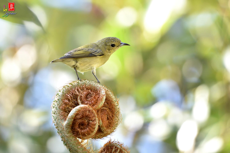 Plain_Flowerpecker_7490