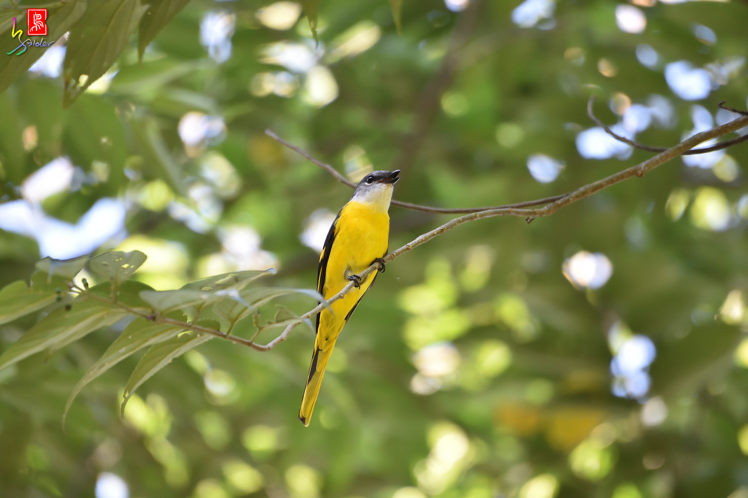 Gray-chinned_Minivet_7858