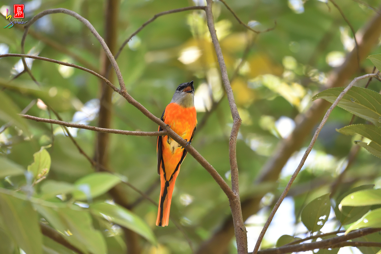 Gray-chinned_Minivet_7853