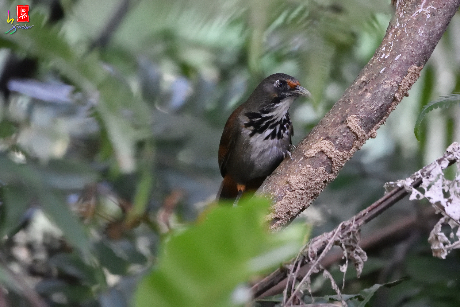 Rusty-cheeked_Scimitar_Babbler_7350