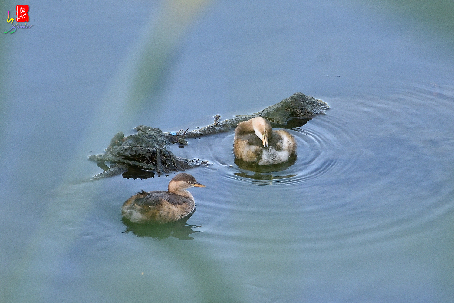 Little_Grebe_6762
