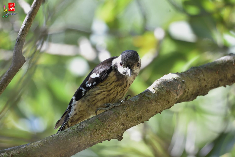 Gray-headed_Pygmy_Woodpecker_7141