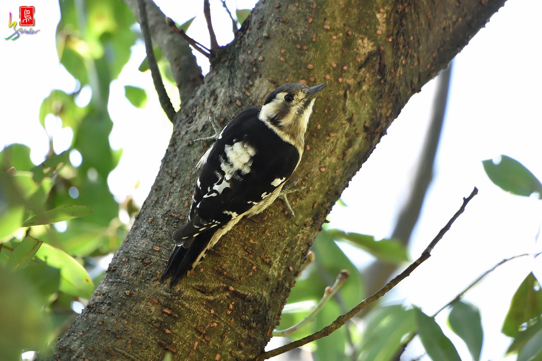 Gray-headed_Pygmy_Woodpecker_7130