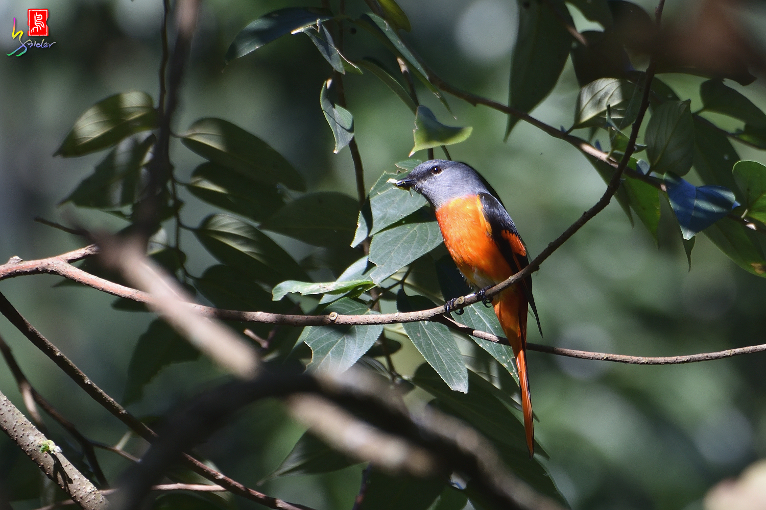 Gray-chinned_Minivet_7301