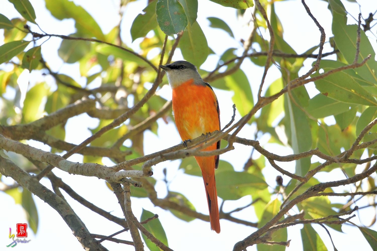 Gray-chinned_Minivet_6947