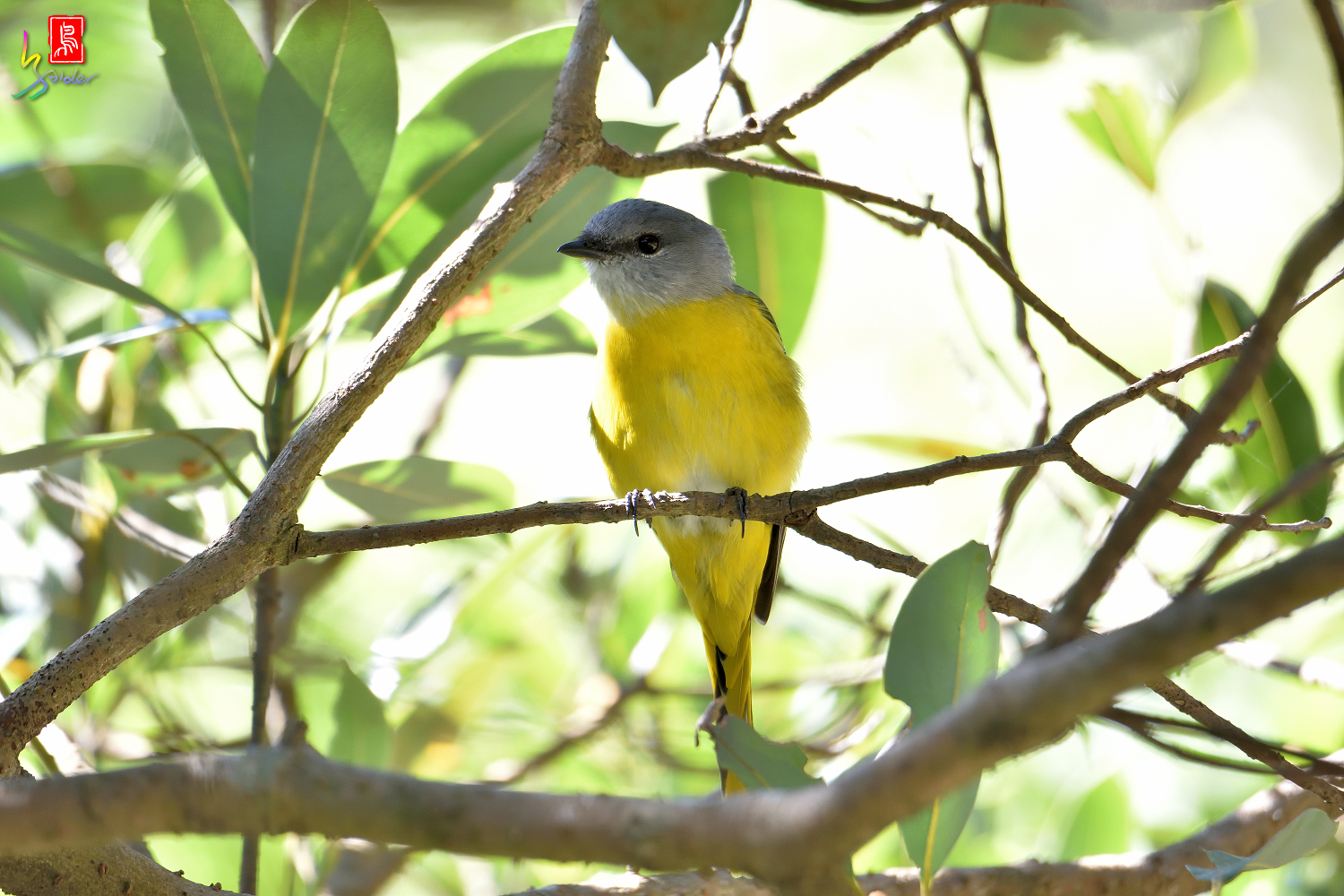 Gray-chinned_Minivet_6926
