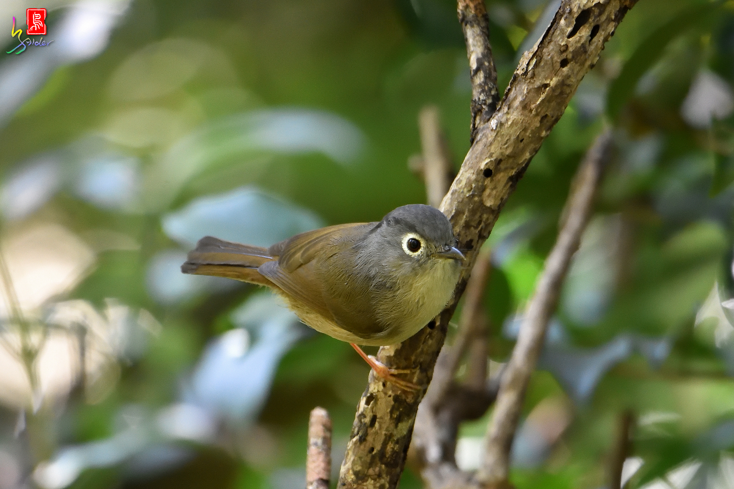 Gray-cheeked_Fulvetta_6852