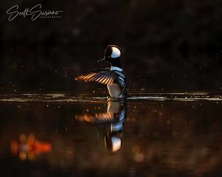 Con-Duck-tor...