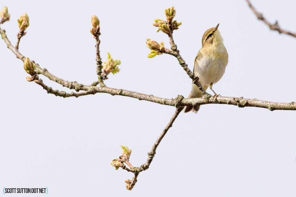 Willow warbler (I think)