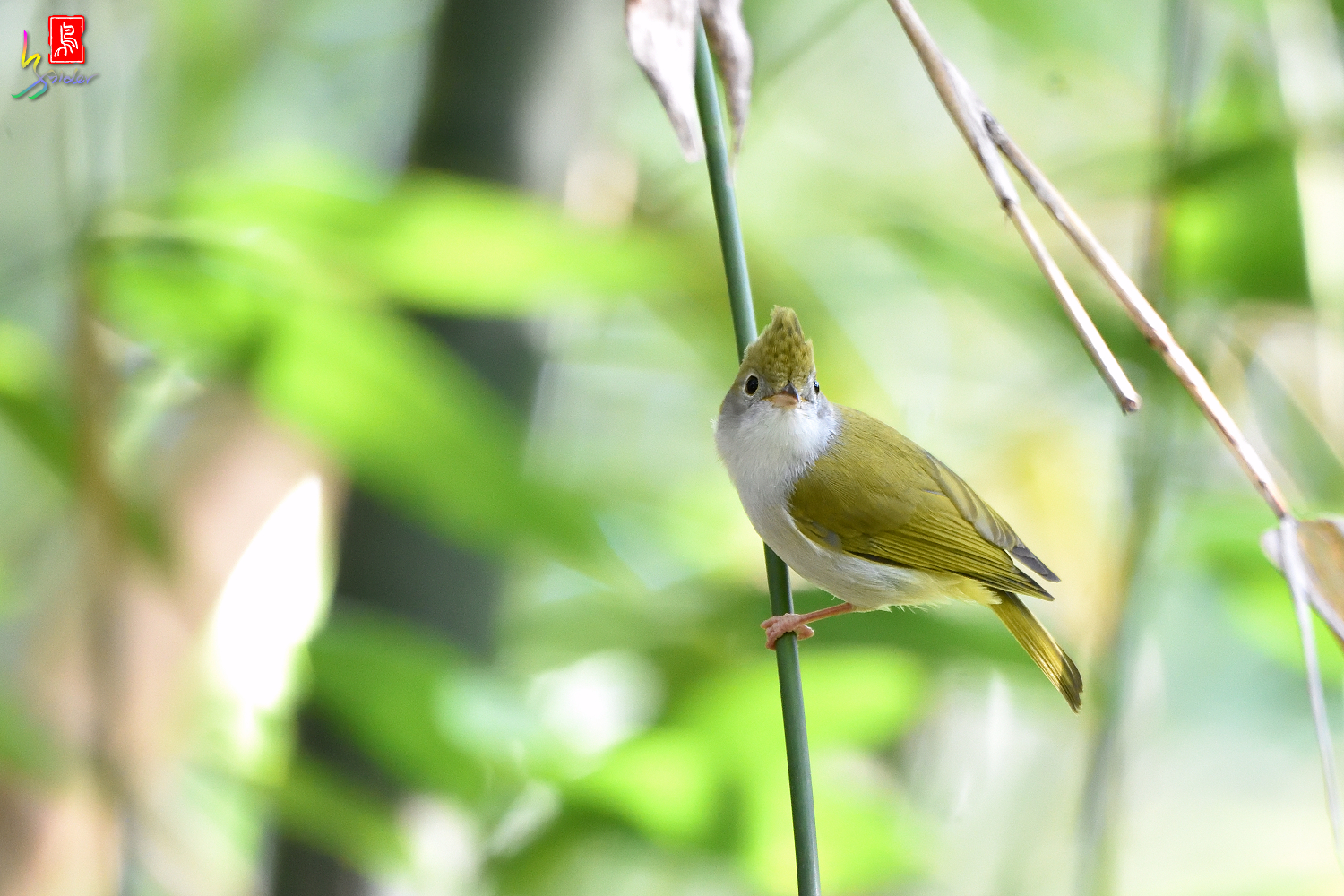 White-bellied_Yuhina_7415