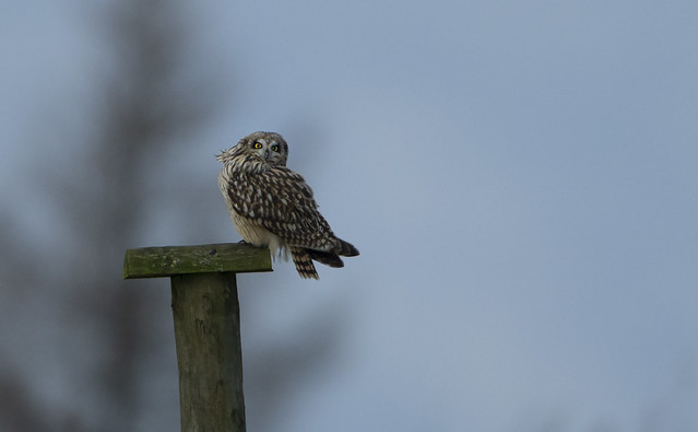 Short-Eared Owl on the post