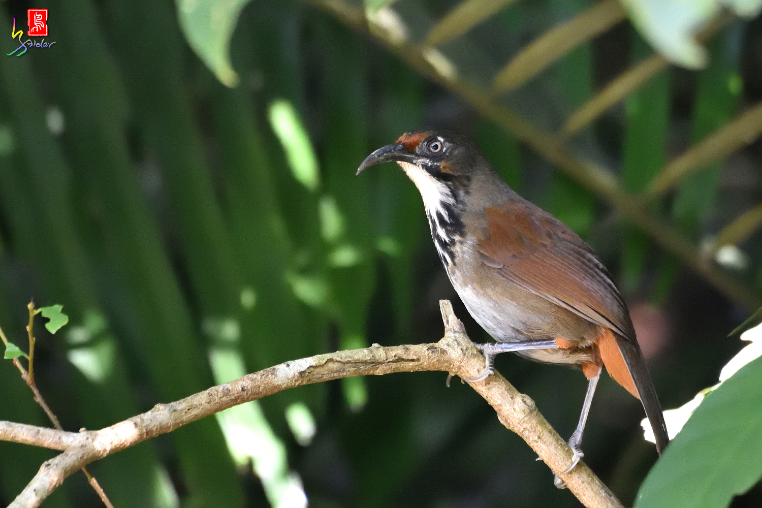 Rusty-cheeked_Scimitar_Babbler_7439