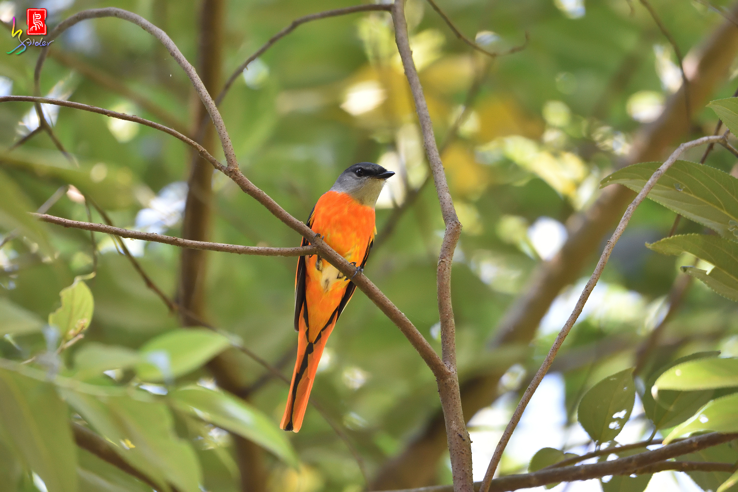 Gray-chinned_Minivet_7848