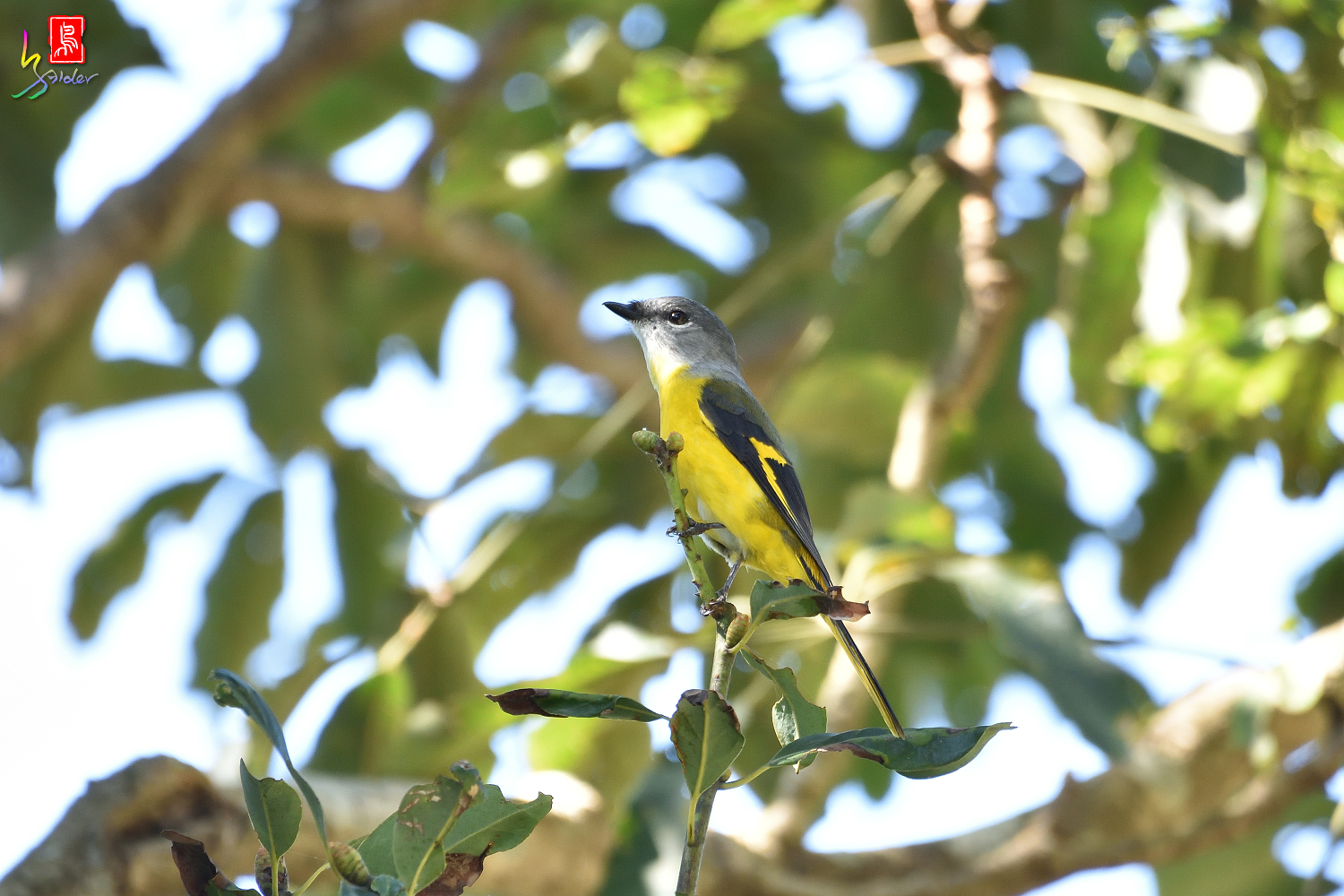 Gray-chinned_Minivet_7455