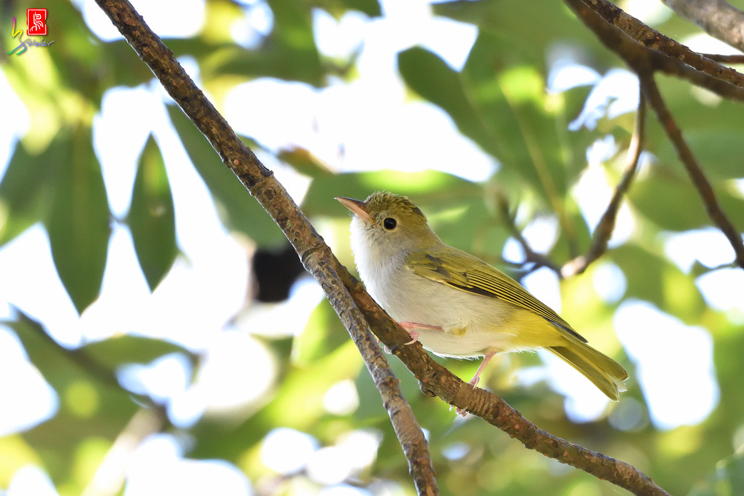 White-bellied_Yuhina_6810