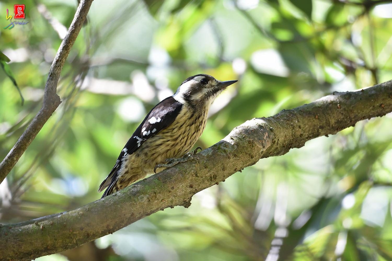 Gray-headed_Pygmy_Woodpecker_7144