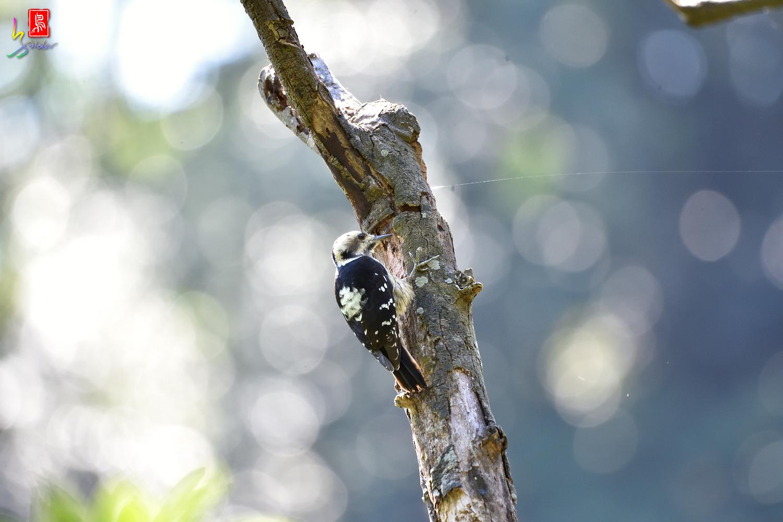 Gray-headed_Pygmy_Woodpecker_7028