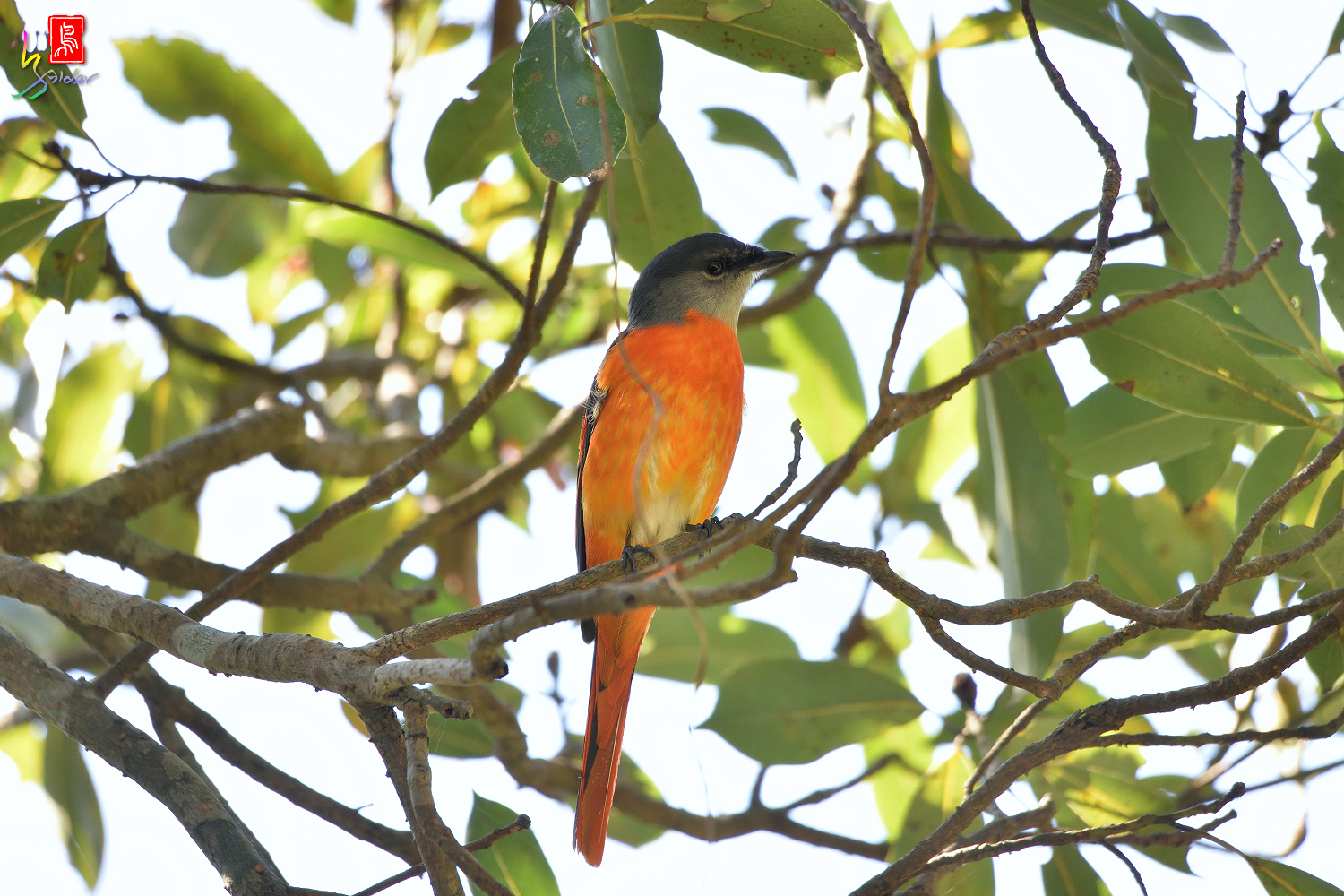 Gray-chinned_Minivet_6932