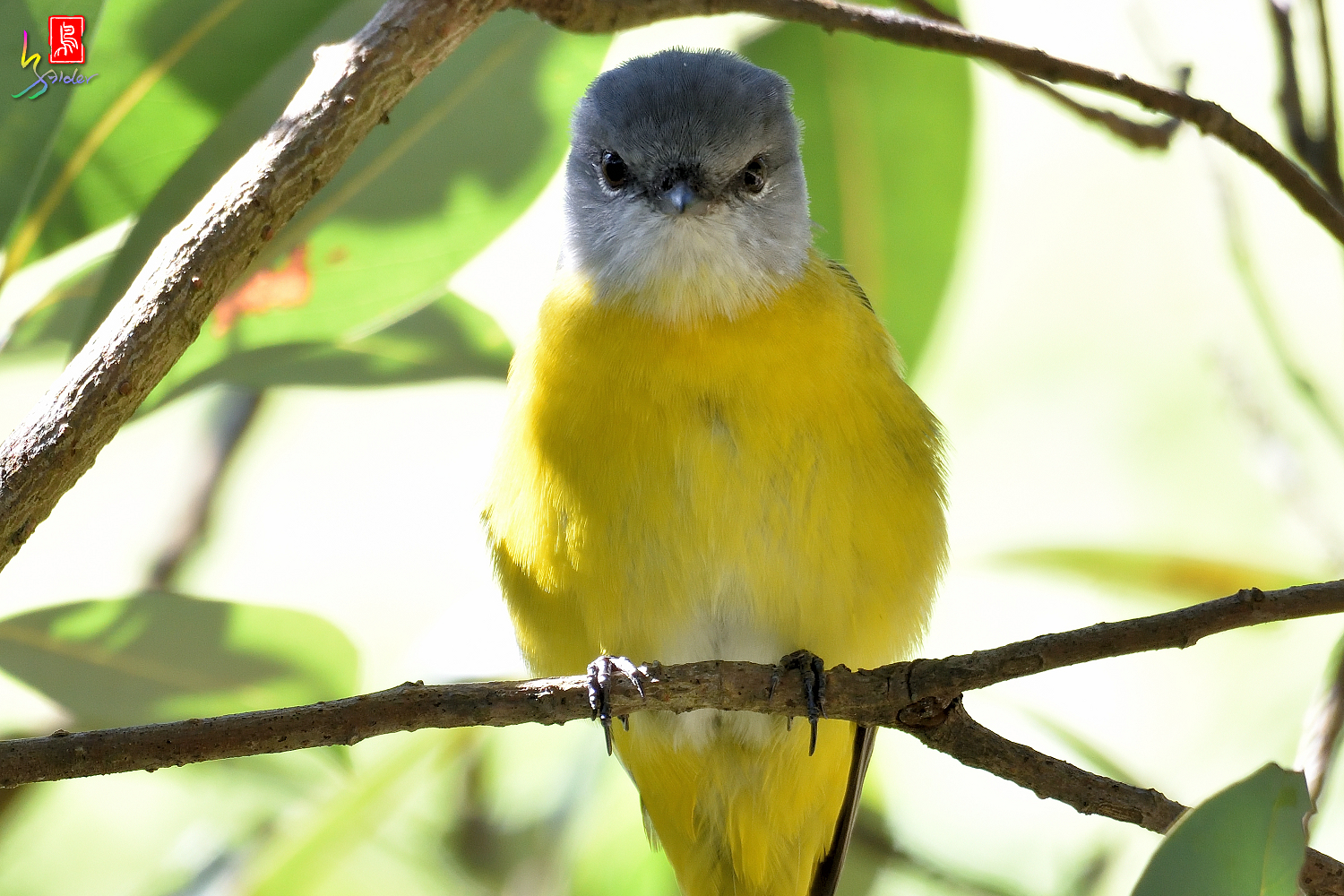 Gray-chinned_Minivet_6925