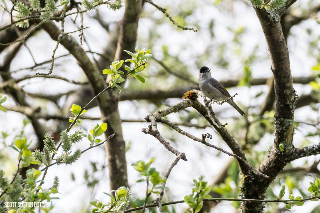 Blackcap in a tree