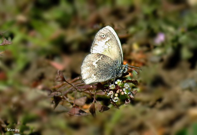 Mexican Cloudywing 0559