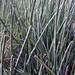 Flickr photo 'Horsetail (Equisetum hyemale)' by: smallcurio.