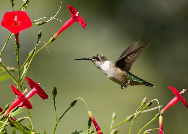 0P7A4783  Ruby-throated Hummingbird, Canada