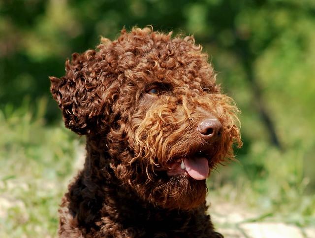 Italienischer Wasserhund