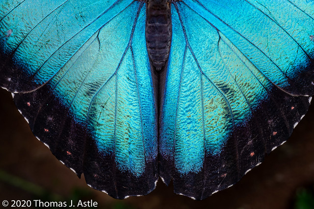 Morpho Wing Detail
